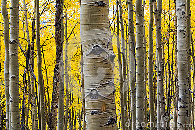 Aspen Tree Trunk Closeup