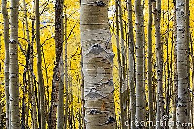 Aspen Tree Trunk Closeup