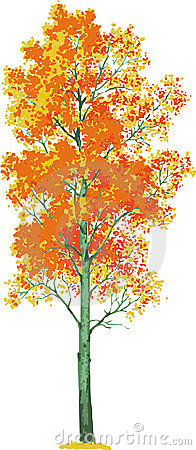 Aspen Tree Vector Stock Photo Image 20014450