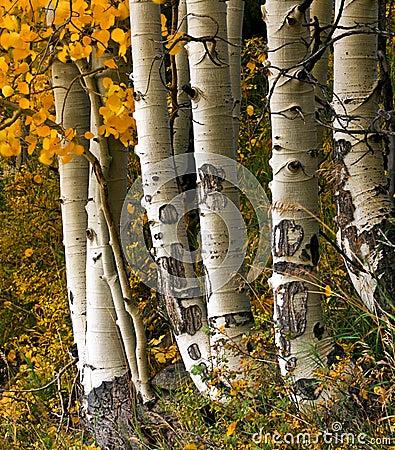 Free Aspen Trees Royalty Free Stock Photo - 21933075