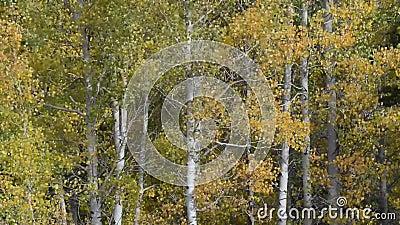 Aspen Trees Blowing in de Wind stock videobeelden