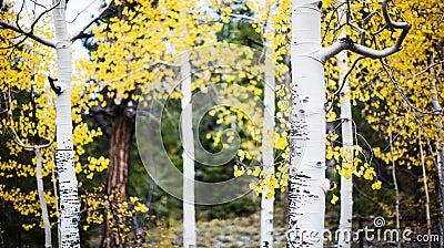 Aspen trees in forest