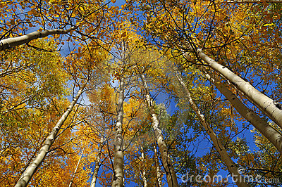 Aspen Trees reaching for the sky