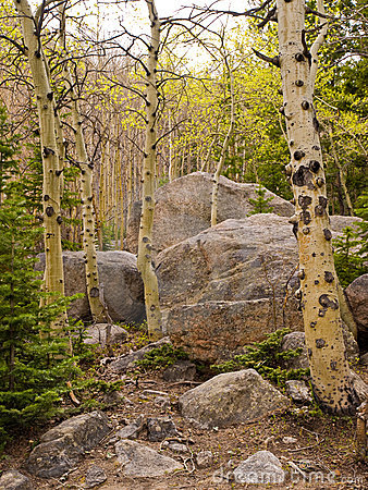 Aspen trunks among granite boulder field