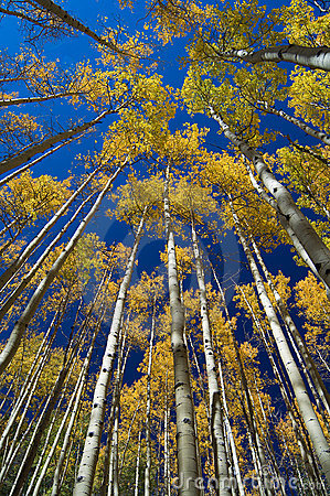 Free Aspen Vertigo Stock Photography - 719712