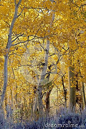 Aspen Woodland