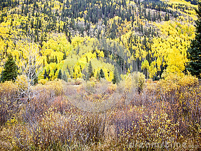 Aspens and Evergreens