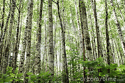 Aspens in Olympic National Park