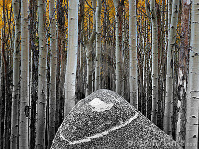 Aspens And Rock Royalty Free Stock Photography - Image: 311287