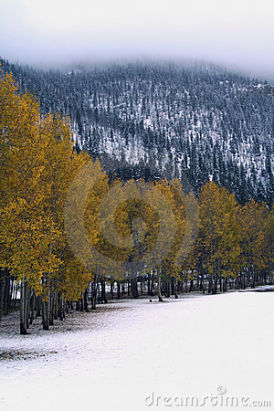Aspens on a snowy day