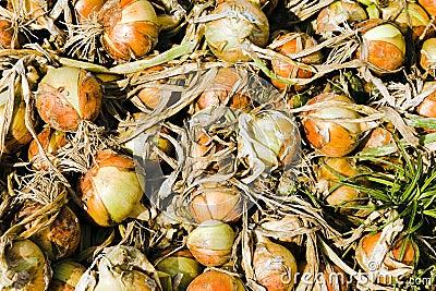 Assembled onions