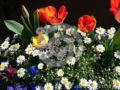 Assorted flowers, red tulips and white daisy
