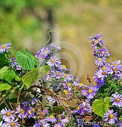 Aster amellus flower