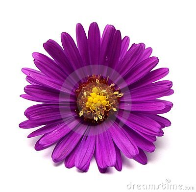 Free Aster Flower Stock Images - 11006754