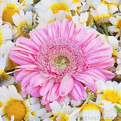 Aster flower.
