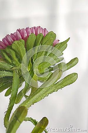 aster flower back of plant