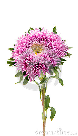 Free Aster Flower Isolated Royalty Free Stock Image - 89541336