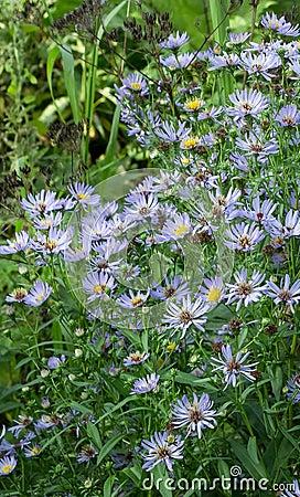 Aster perennial blue