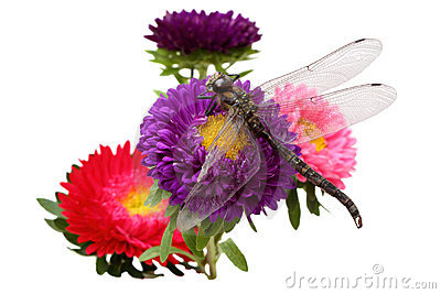 Asters and dragonfly