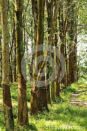 Free At A Rubber Plantation Series  Royalty Free Stock Image - 5076476