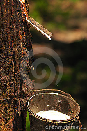 Free At A Rubber Plantation Series  Stock Image - 5076481