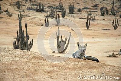 Atacama Desert fox relaxes