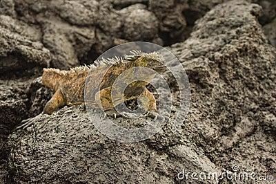 Aterrice la iguana