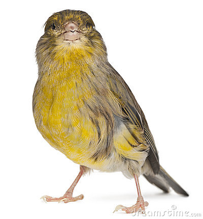 Atlantic Canary, Serinus canaria, 2 years old