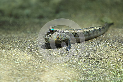 Atlantic mudskipper