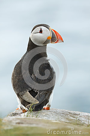 Atlantic puffin alone