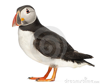 Atlantic Puffin or Common Puffin