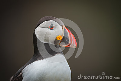 Atlantic Puffin Portrait.