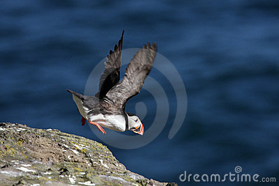 Atlantic puffin take-off, Iceland
