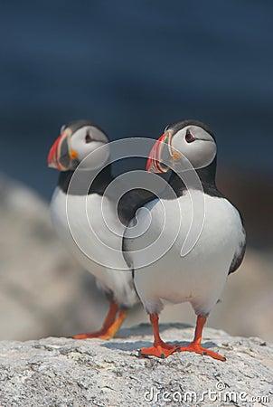 Free Atlantic Puffins Stock Image - 1129331