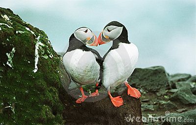 Atlantic Puffins Stock Photo - Image: 18420