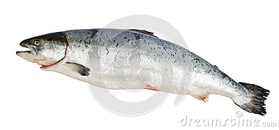 Atlantic Salmon Salmo