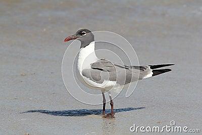 Atlantic seagul closeup