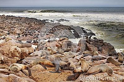 Atlantic seals
