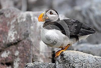 Atlantischer Papageientaucher