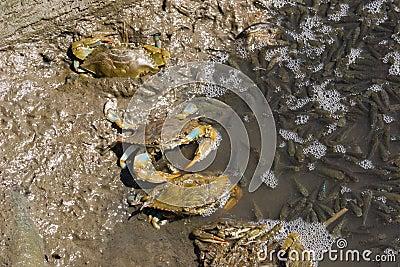 Atlantiskt blått fiska för krabbor