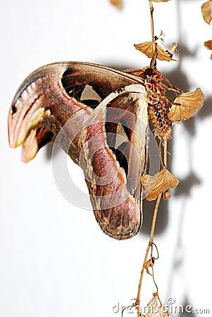 Free Atlas Moth Royalty Free Stock Photography - 9137487