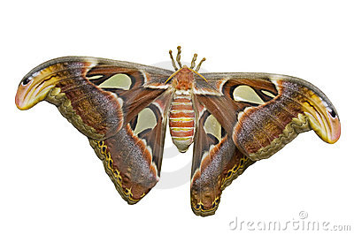 Atlas Moth Cutout