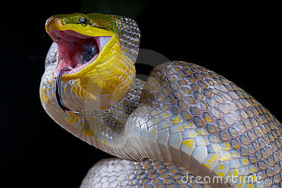 Attacking golden ratsnake