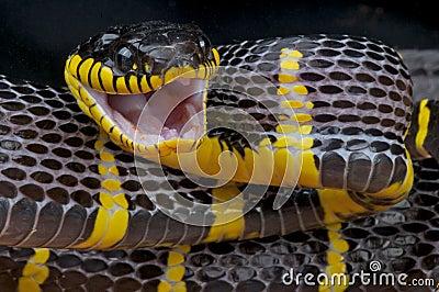 Attacking mangrove snake