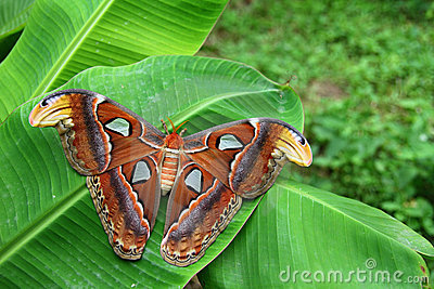 Attacus Atlas Moth