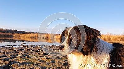 Attencyjny, stary pies na zewnątrz, strzelony głową, patrząc na otoczenie, spacerując po parku w pobliżu jeziora zbiory
