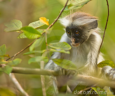 An attentive baby Zanzibar Red Colobus