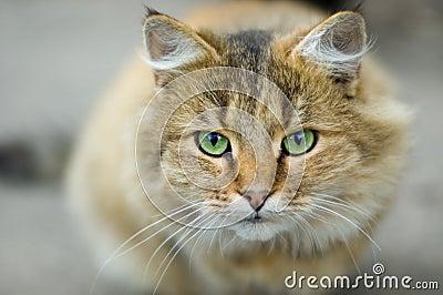 Attentive Green Eyes of Domestic Predator