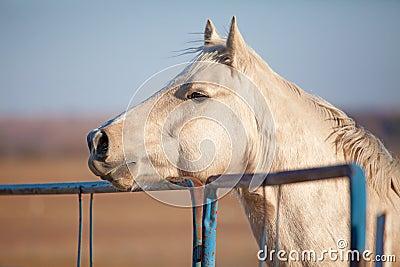 Attentive Palomino horse