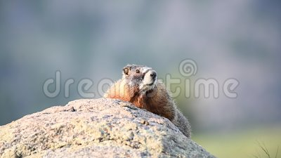 Attentive Yellowbelied Marmot filme